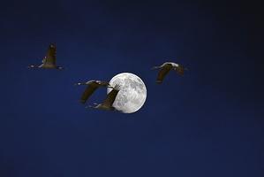Passage des grues devant la lune