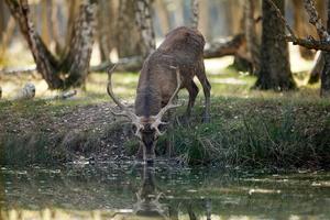 Cerf en train de boire à un étang