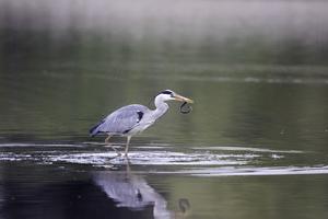 Héron cendré à la pêche