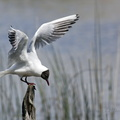 Mouette Rieuse||<img src=./_datas/2/p/6/2p60y18yv1/i/uploads/2/p/6/2p60y18yv1//2012/05/16/20120516093113-2890c7e8-th.jpg>
