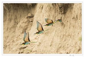 La sortie du nid du Guêpier